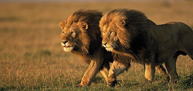 two-male-lions-Kenya-631.jpg__800x600_q85_crop