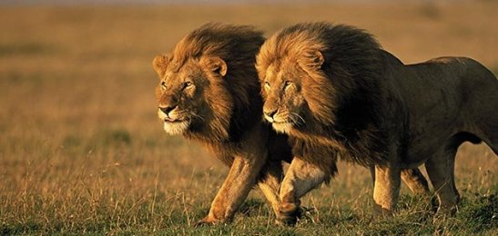 two-male-lions-Kenya-631.jpg__800x600_q85_crop